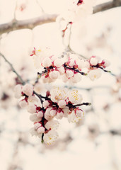Spring blossom Buds Apricot, toning
