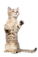 Attractive kitten Scottish Straight standing on his hind legs
