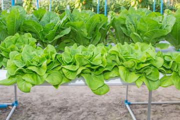 Fresh Romaine Lettuce vegetable in a Hydroponic farm.