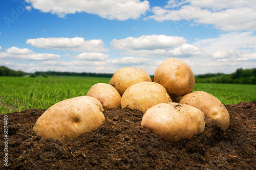 Fotobehang Tuin Potatoes on the ground under blue sky