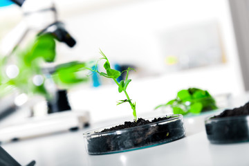 Genetically modified plant tested in petri dish .