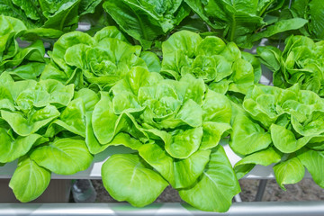 Fresh Romaine Lettuce vegetable in Hydroponic farm.