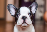 French bulldog puppy portrait