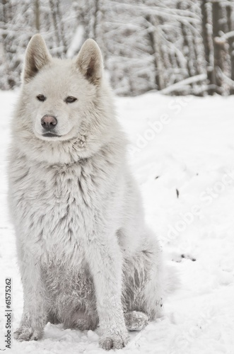 Samoyed (portrait)