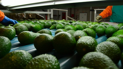 Hass avocados in packaging line