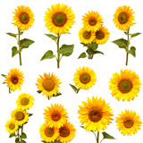 Fototapety Sunflowers collection