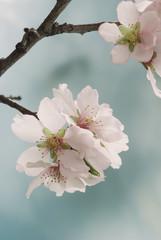 Pastel tones Spring blossom macro.