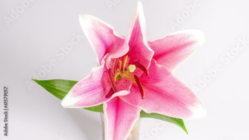 Blooming purple lily on white,timelapse