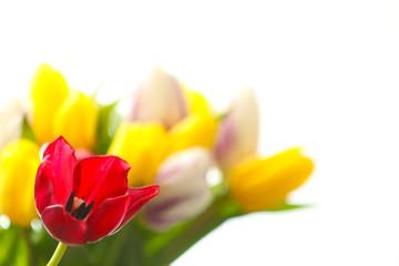 Einzelne Tulpe vor Tulpenstrauß