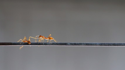 Red ant dancing.