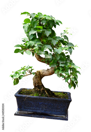 Aluminium Bonsai ficus in a pot