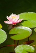 beautiful lotus flower in the city pond