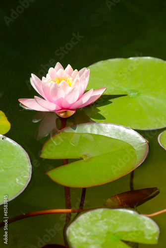 Fotobehang Lotusbloem beautiful lotus flower in the city pond