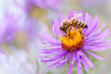 Honeybee in autumn