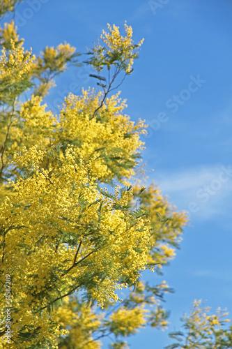 Mimose fiorite simbolo otto marzo festa della donna