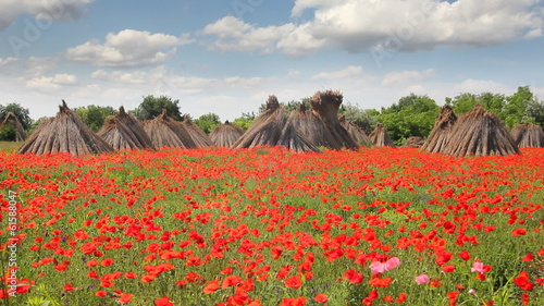 Poppy field and stacked cropped dry reed