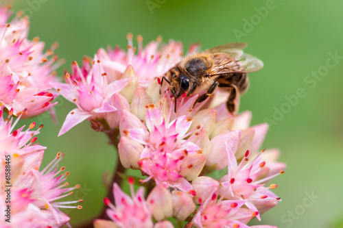 Bee on orpine flower