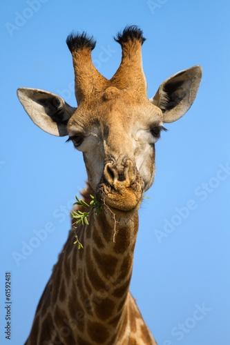 Portrait close-up of giraffe head against a blue sky chew