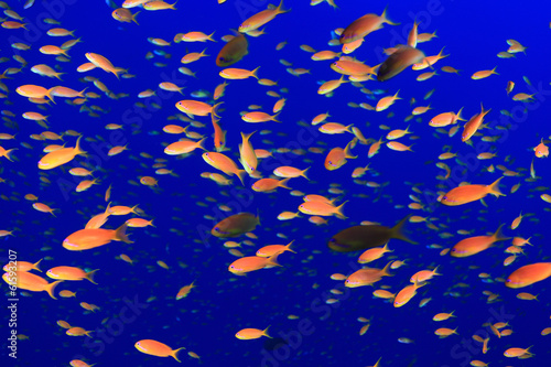 Colorful fish in the blue water of the red sea