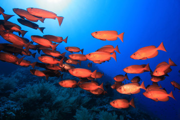 Shoal of red bigeye perches in the red sea