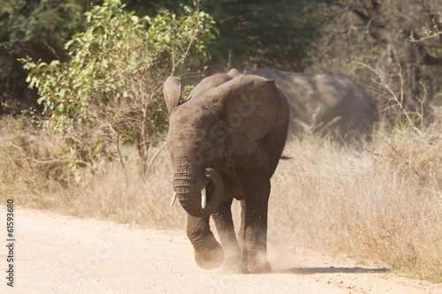 Young elephant charge aggressive along a road to chase danger