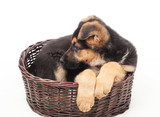 beautiful puppy in a wicker basket