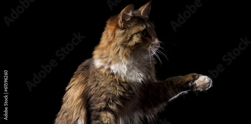Poster cute fluffy cat on a black background catches smth