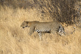 Leopard on patroll