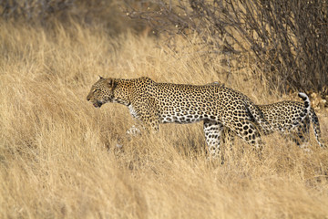 Leopard patrolling with cub