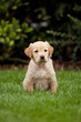 Golden retriever puppy sitting in a garden