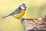 The Blue Tit on a bird table.