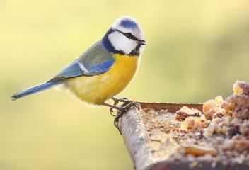 The Blue Tit on a bird table.