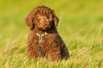 labradoodle Young