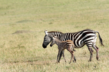 A beautiful baby zebra in mothers protection