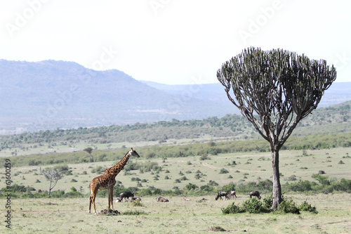 A Giraffes and a acacia tree