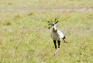 A beautiful Secretary bird in the savanna