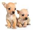Two tan chihuahuas puppy small dogs