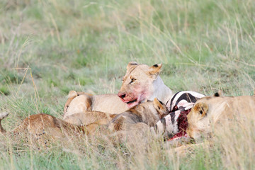 lioness in pride eating kill