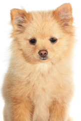 Pomeranian puppy young dog