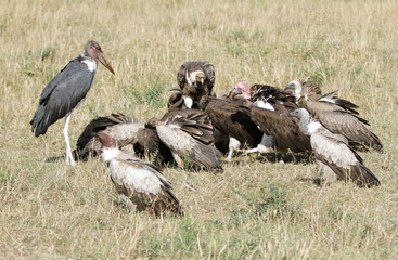 A Marabou Stork and a Wake of vultures
