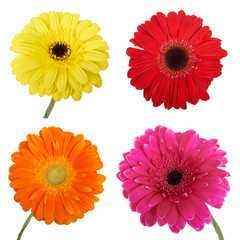 Set of Gerbera flowers. Hight res. Isolated on white