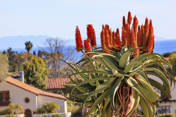 Giant Tree Aloe Barberae Mission Santa Barbara California