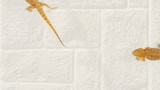 Lizard (agama ) running over sand background, traffic concept