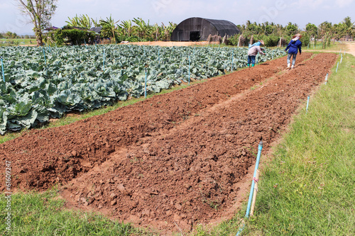 Agriculturist work in field cabbage.