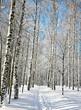 Ski run in winter birch grove