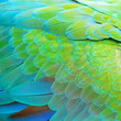 Harlequin Macaw feathers