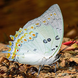 Jewelled Nawab butterfly