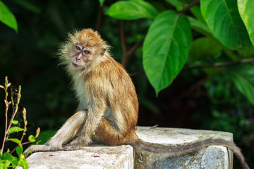 Relaxed monkey resting on the stone