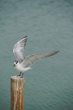 Whiskered Tern (Chlidonias hybrida) standing on post poster