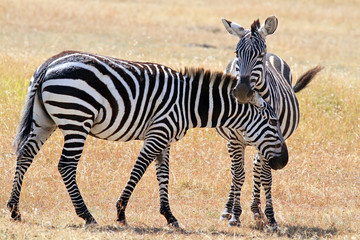 Two zebras on the Masai Mara in Kenya.